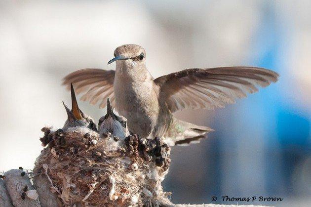 Sherry Boas: Deja nidos de colibrí en el lugar - Orlando Sentinel