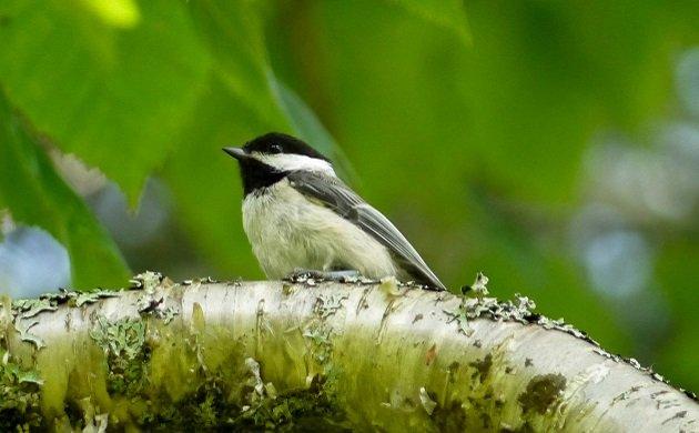 chickadee, maine, birding