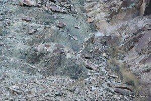 11. Leopard, Snow Hemis NP India AR-234 v1