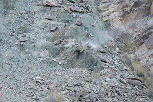 12. Leopard, Snow Hemis NP India AR-236