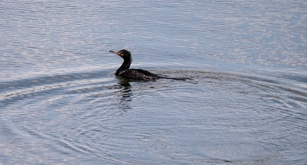 cormorant, new york, dam