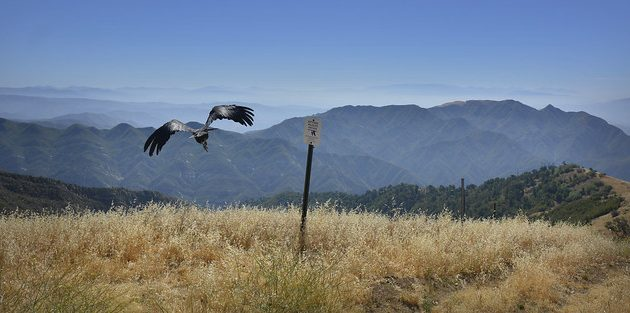 "What is a ""Nonessential Experimental"" California Condor?"