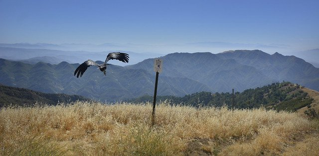 Nonessential Experimental California Condors