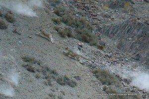 15. Leopard, Snow Hemis NP India AR-255