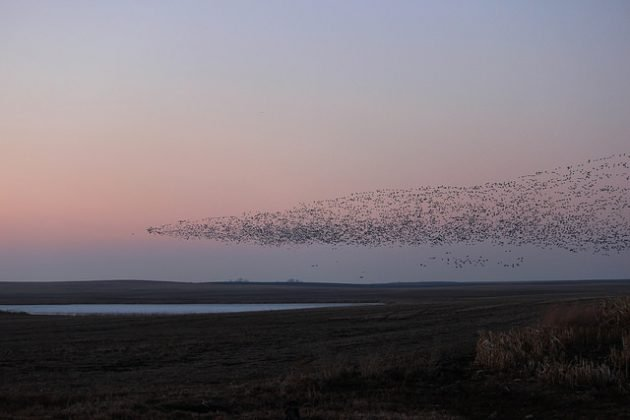 Snow Geese over Kulm WMD in North Dakota