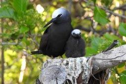 South East Queensland [SEQ] Birding Destinations – Lady Elliot Island.