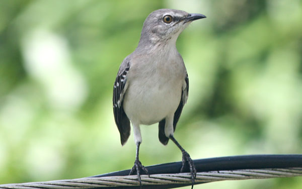 10000 Birds What Is A Mockingbird