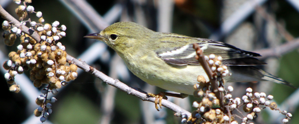 Pubescent blackpoll warbler chicks playboys housewives malatto