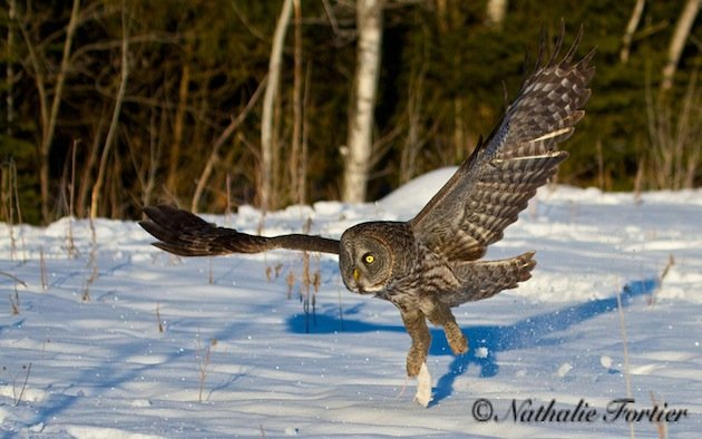 Great Gray Owl carrying off bait (Nathalie Forthier)