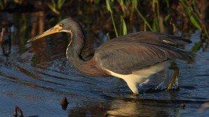 Tricolored Heron - Viera Wetlands, Brevard Co, Fl