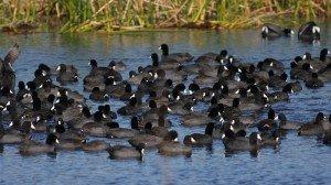 American Coots - Viera Wetlands, Brevard Co, Fl
