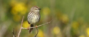 Karoo Prinia by Adam Riley