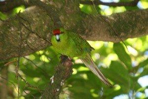 Red Crowned Parakeet