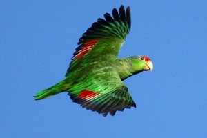 Red-crowned Parrot in flight