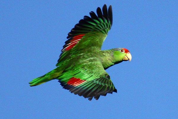 10,000 Aves | Red-coronado Loros en Irvine Regional Park, Condado de Orange, California