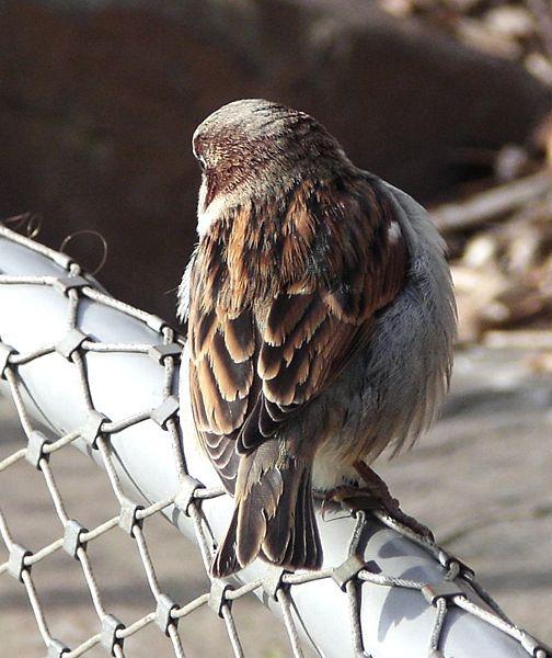 House Sparrow on chain link fence