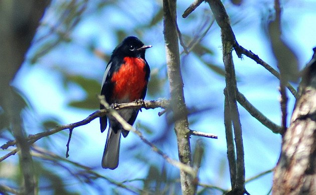 Painted Redstart by David J. Ringer
