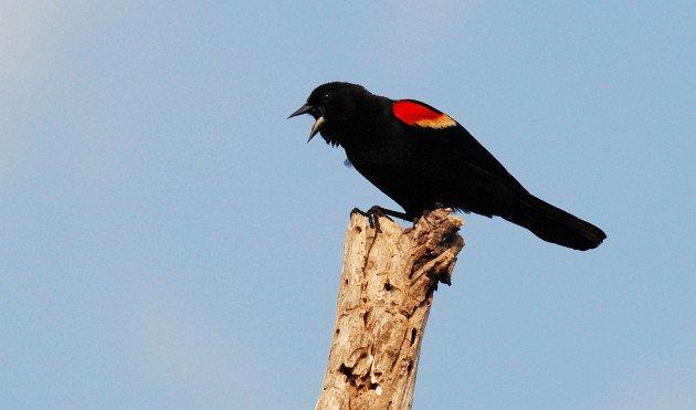 Red-winged Blackbird by David J. Ringer