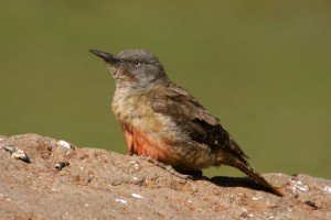 Ground Woodpecker by Adam Riley