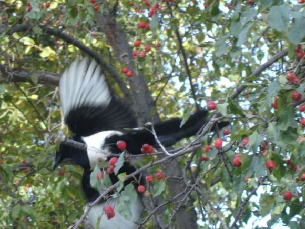 Magpie on mountain ash