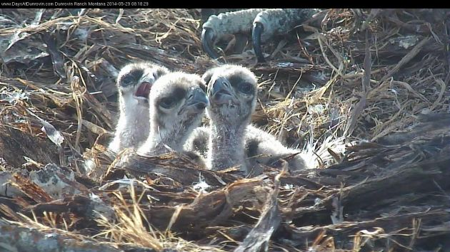 Three osprey chicks from Dunrovin Ranch, Montana