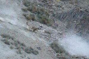 21. Leopard, Snow Hemis NP India AR-276