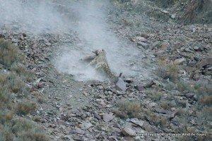 24. Leopard, Snow Hemis NP India AR-288