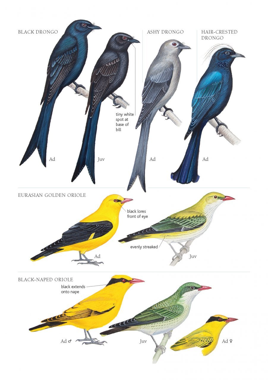 A Field Guide to the Birds of Mongolia