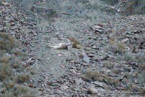 26. Leopard, Snow Hemis NP India AR-379
