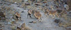 3. Blue Sheep, Hemis NP India AR
