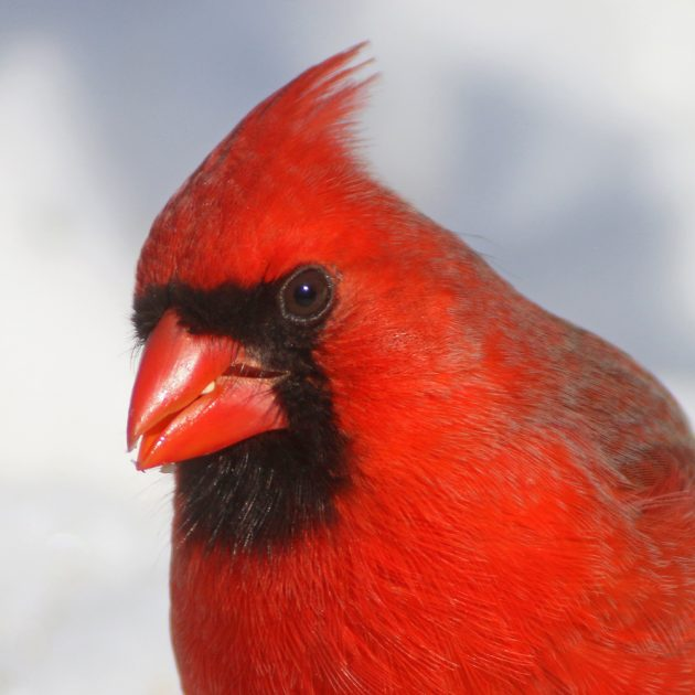 3b-northern-cardinal-portrait