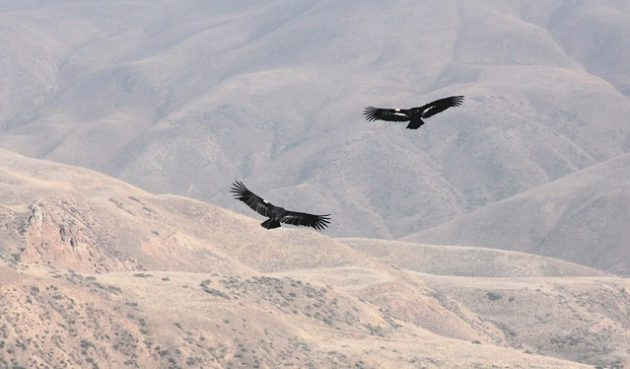 Nonessential Experimental California Condors by USFWS