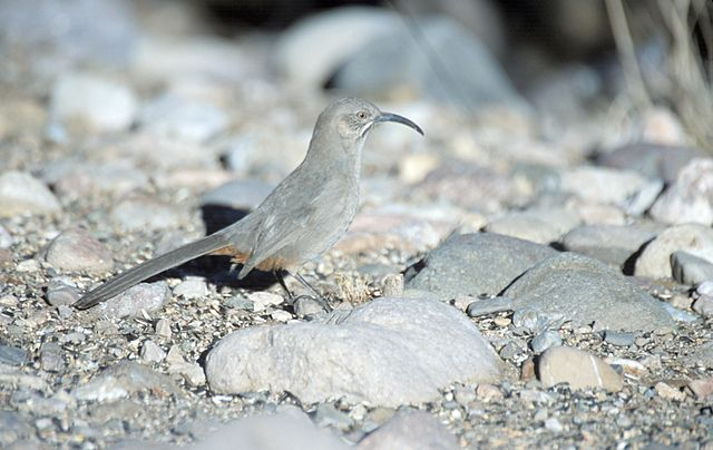 Crissal Thrasher on rocky ground