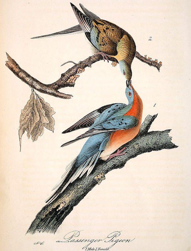 Passenger Pigeon Audubon