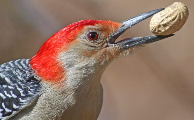 9-red-bellied-woodpecker-with-peanut