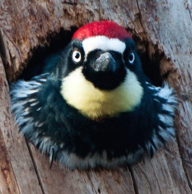 Male Acorn Woodpecker Adult