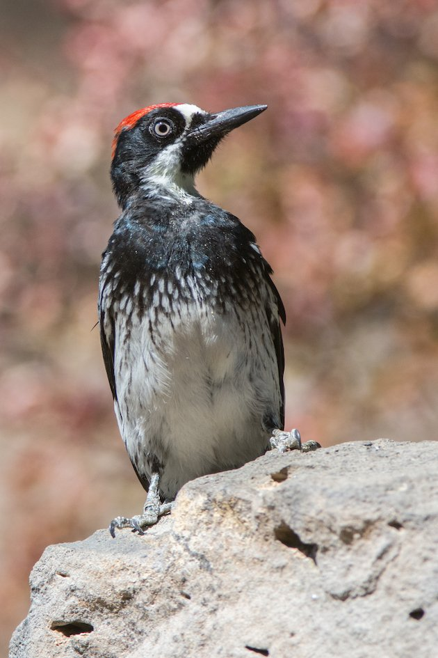 Acorn Woodpecker Juvenile Male