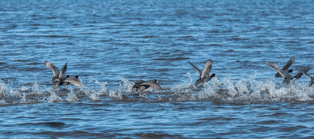 American Coot Take Off