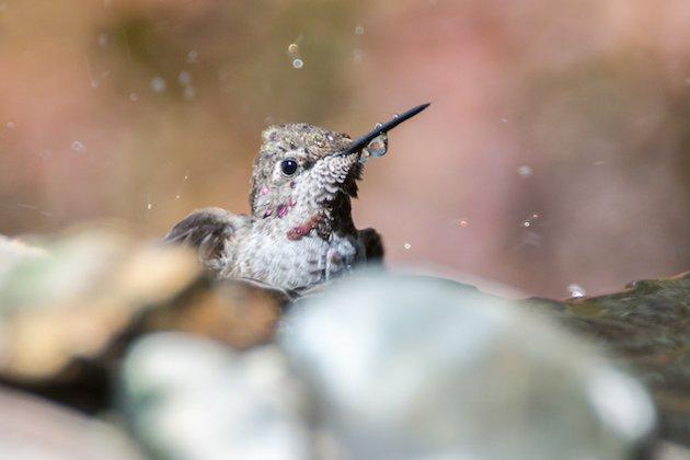 Anna's Hummingbird Immature
