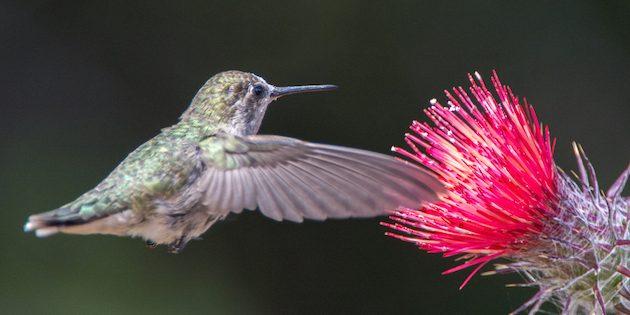 Female Anna's Hummingbird on Red Thistle