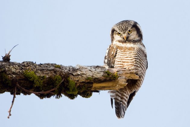 ANILCA Northern Hawk Owl