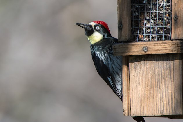 Acorn Woodpecker Male