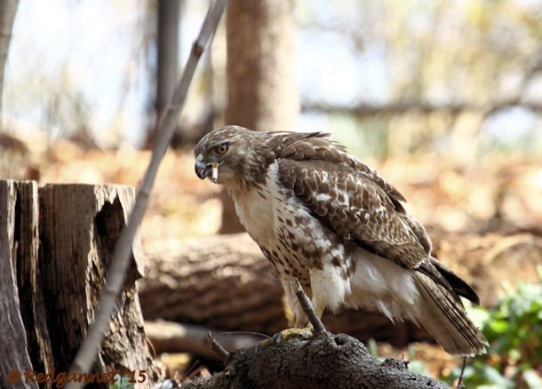 Red-tail Without a Cause - 10,000 Birds