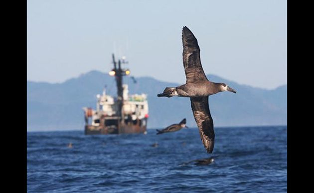 Black-footed Albatross Jared Towers