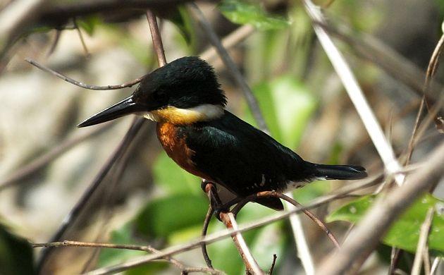 american-pygmy-kingfisher