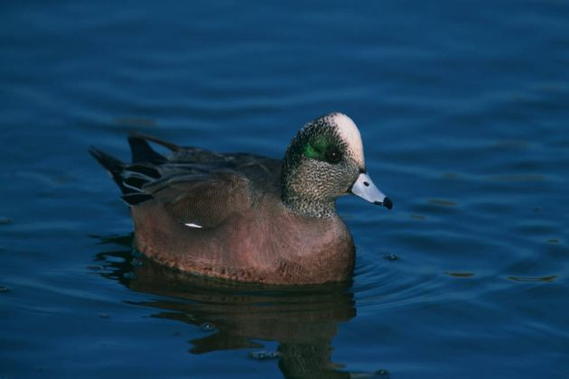 Drake American Wigeon on open water