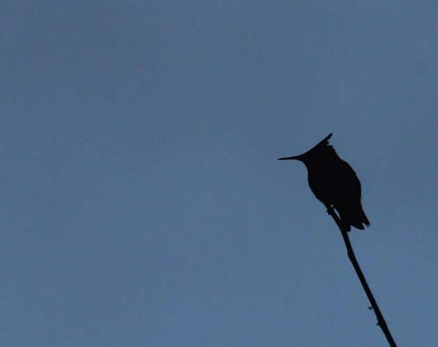 antillean-crested-hummingbird