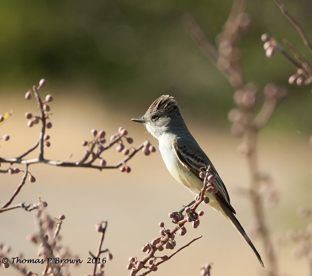 Ash Throated Fly catcher