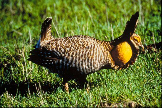 Attwater's Prairie Chicken, displaying male