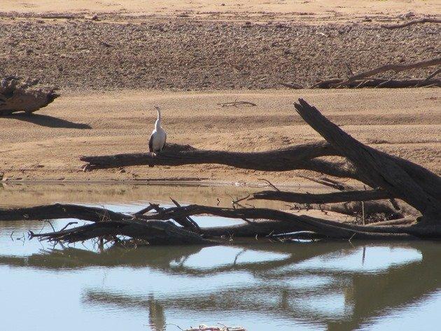 Australasian Darter & crocodile